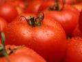 engineered tomatoes