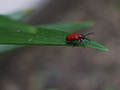 Lily leaf beetle adult