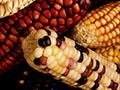 Maize variety