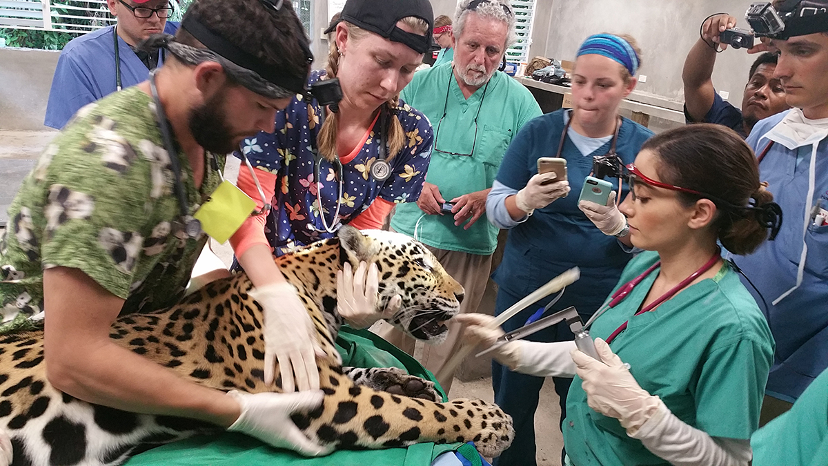 vets treat jaguar